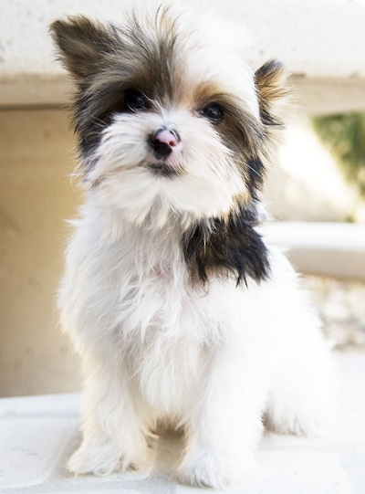 Teacup Yorkies For Sale Teacup Yorkshire Terrier Puppies For Sale
