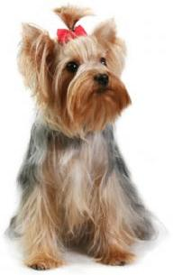 Yorkiepuppies Youtube on Puppies For Sale   Teacup Yorkie Puppies For Sale   Yorkie Puppies
